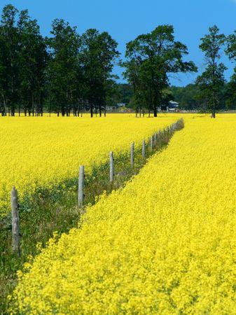 colza: cerca de madera en un hermoso campo de colza