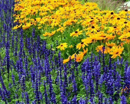 hirta: details on several lavender and rudbeckia hirta flowers