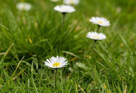 Daisy on Meadow
