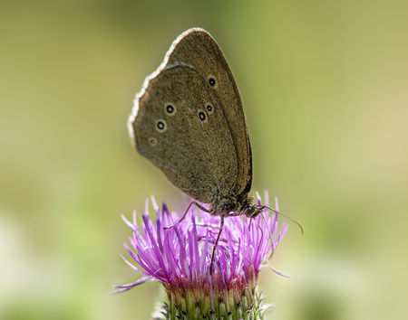 pieris: Butterfly on a thistle