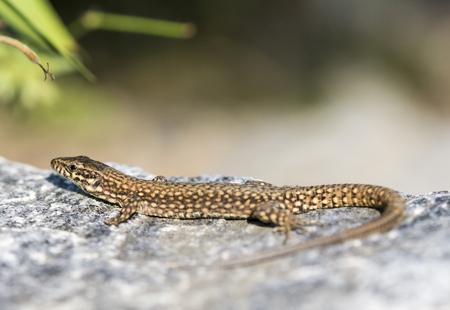 Lizard is warming his body