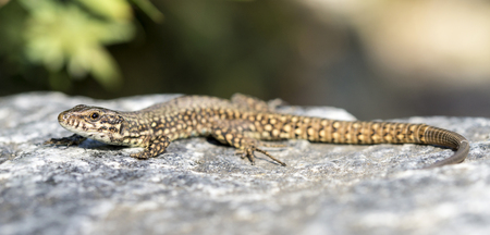 lacerta: Lizard is warming his body