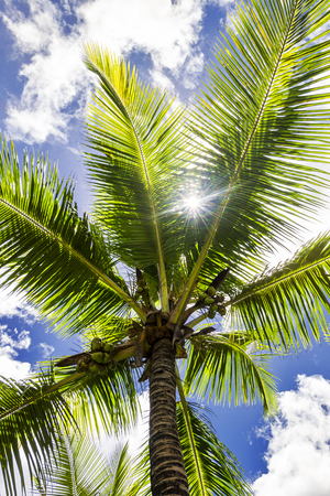 Coconut palm tree, Cocos Nucifera, with green leaves Stock Photo