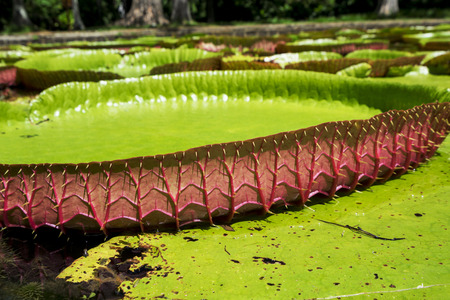 Giant water lilies in Pamplemousses garden in Mauritius Stock Photo