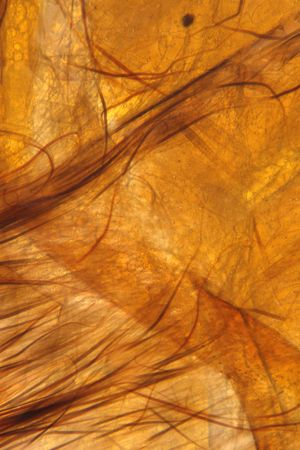 taxonomy: Moth dissection wing and skin detailing. Fine hairs cover the body and underside of the moth. Moth belly side.