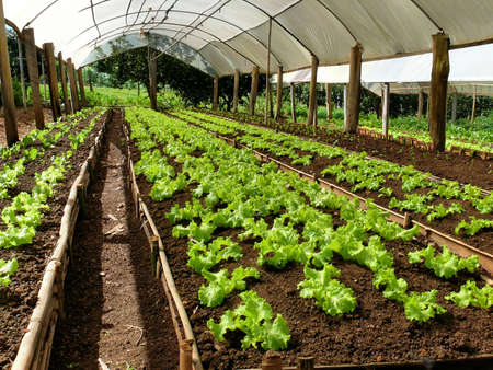 looseleaf: Lettuce cultivation on a greenhouse on a small farm Stock Photo
