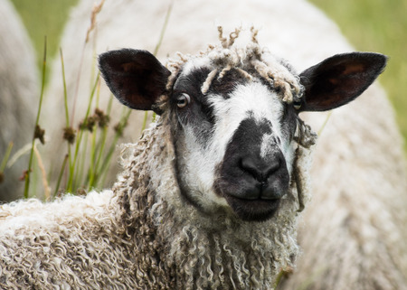 wensleydale: A Wensleydale ewe grazes in a field. One of the largest and heaviest of all sheep breeds, the Wensleydale has long, ringlet-like locks of wool. It is categorized as a rare breed