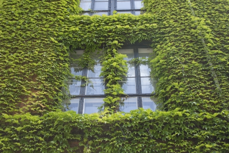 wall ivy: Ventana y pared verde hiedra
