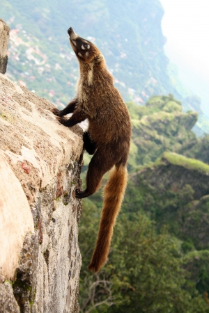 A beautiful Opossum or Possum climbing a piramide in the tepozteco mountain  Tepoztlan, Mexico Banque d'images