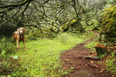 trailway: Standing weimaraner dog in a beautiful green forest Stock Photo
