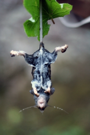 Death wet mouse hanging photo
