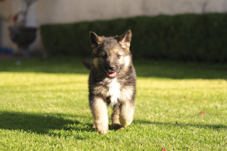 Beautiful German Shepard puppy dog running in the grass