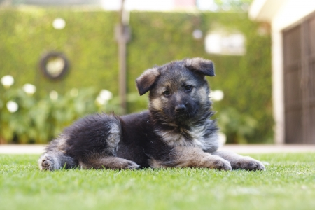 german shepard: Beautiful German Shepard puppy dog laying in the grass watching the camera