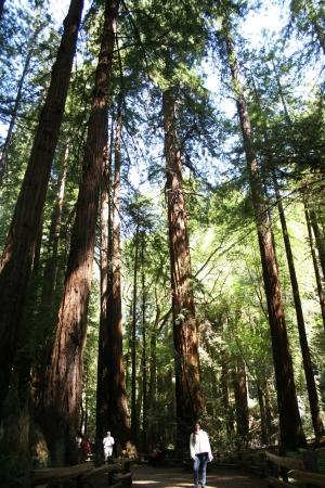muir: California Redwood Forest, Muir woods