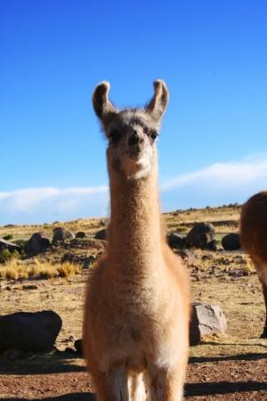 phylum chordata: Hermosa Lama en Puno, Perú Foto de archivo