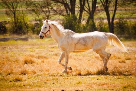 Beeld van een grote witte paard loopt op het land.