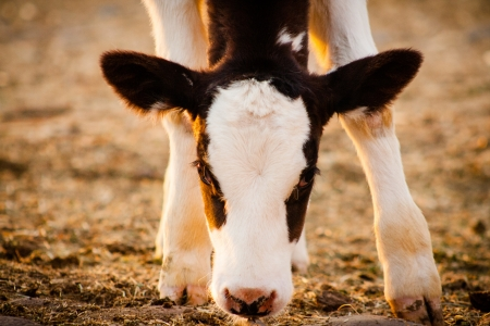 Newborn calf cow watching at the camera Banque d'images