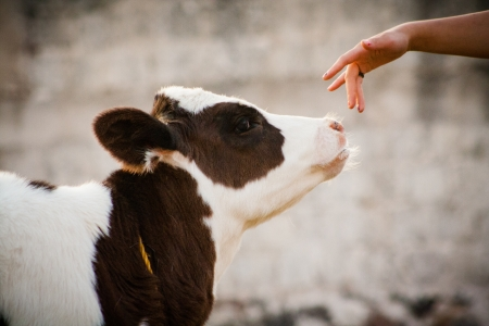 Newborn beautiful calf cow smelling a woman hand