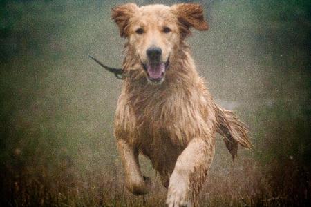 雨の中を実行して幸せな犬ゴールデンレトリバー