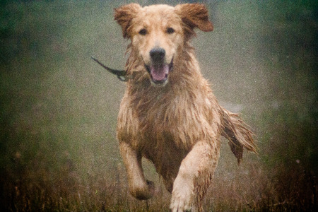 Happy dog Golden Retriever running in the rain Banque d'images