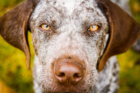 Close up of a beautiful pointer dog photo