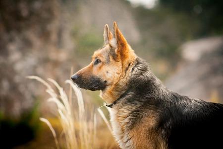 Dog breed German shepherd portrait on nature photo