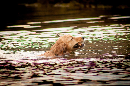 retrieve: Golden retriever portrait swimming in the water. retrieve