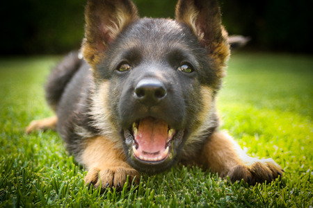 German shepherd puppy playing on a warm summer day photo