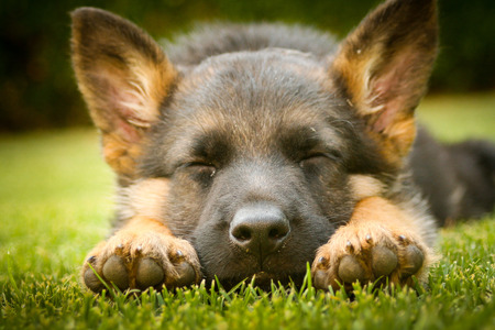 German shepherd puppy sleeping on a warm summer day 免版税图像