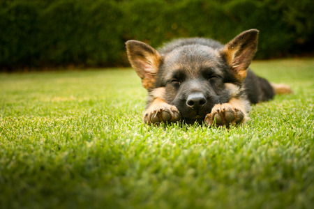 pure breed: German shepherd puppy relaxing on a warm summer day