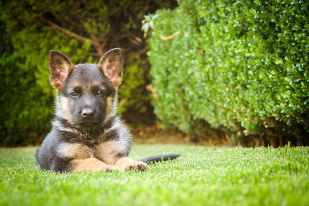 Cachorro de pastor alemán de relax en un cálido día de verano