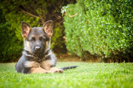 Duitse herder puppy ontspannen op een warme zomerdag