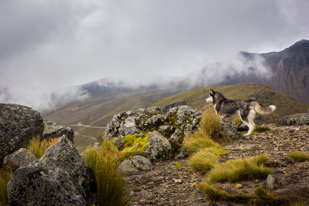 mountain dog: Husky dog watching the landscape in the mountain