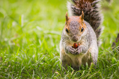 red squirrel: Squirrel eating nut