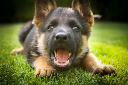 暖かい夏の日に遊ぶジャーマン シェパードの子犬