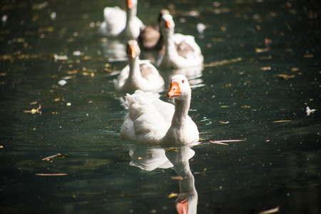 cackle: White duck swimming in a pond or lake.