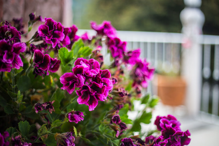 bicolor: Pink bicolor geraniums in the home garden. Stock Photo
