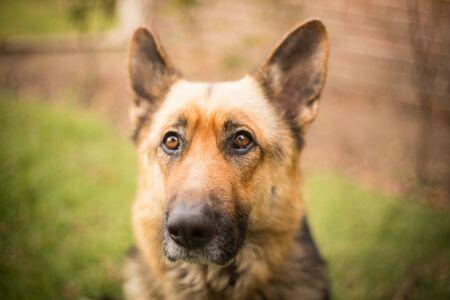 Dog breed German shepherd on nature.