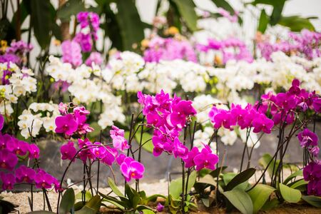 Beautiful magenta pink white orchid flowers.