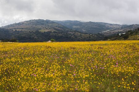 Field of yellow flowers and mountains. Banque d'images