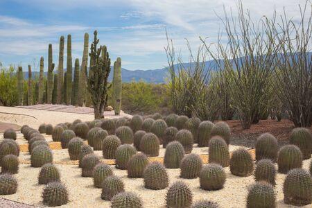 Desert cactus garden landscape.