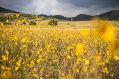 Field of yellow flowers and mountains. Stok Fotoğraf