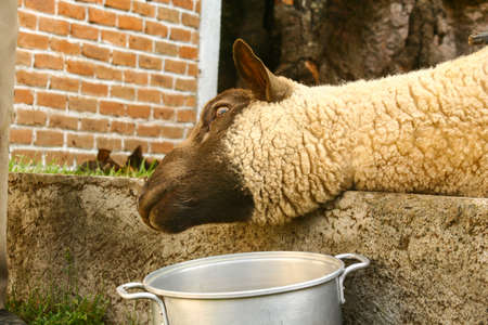 Killing of sheep to cook traditional