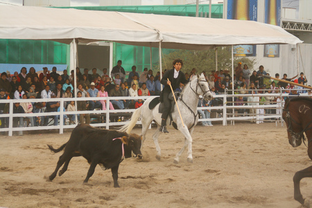 Quertaro, Mexico, December.03. 2006: Rejoneo at queretaro county fair with bull calf. 에디토리얼