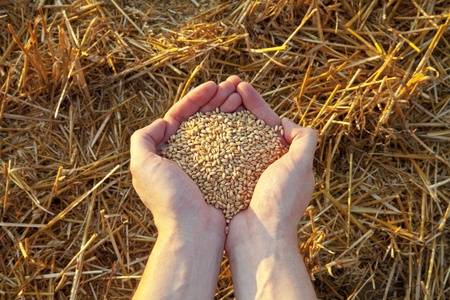 Hands full of grain and Mown wheat field at sunset.