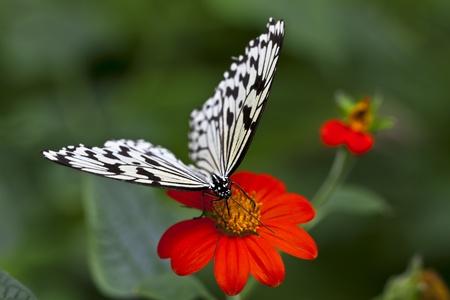 nice food: Красивая бабочка с черными отметинами на красный цветок и зеленом фоне.