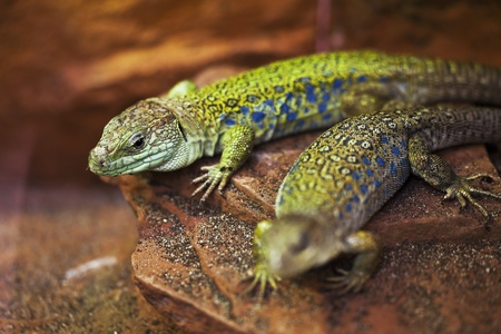 Two green lizards lie on the stone. photo