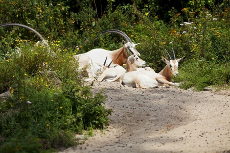 scimitar: Several Scimitar Horned Oryx antelope resting on the ground among bushes. Stock Photo