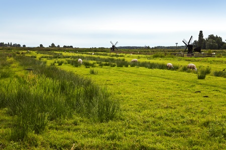 traditionally dutch: Green field with sheep and windmills in the distance. Stock Photo
