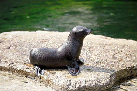 Seals on a rock in front of the pool. Stock Photo